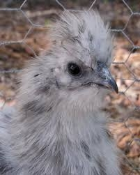Chick, Silkie
